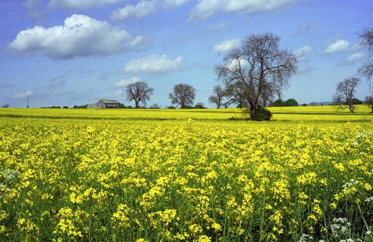 Rape seed oil is growing in this sea of yellow.