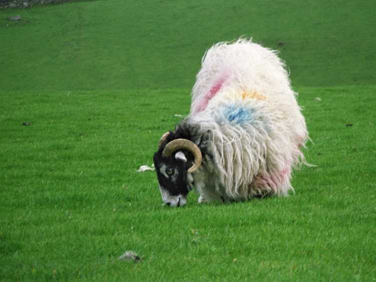 This sheep appears to have been playing in a paint ball game