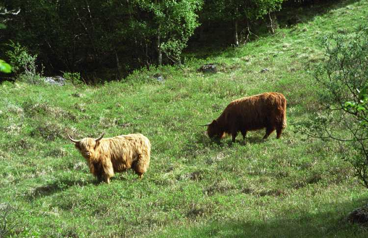 Highland cattle. We call them shags.