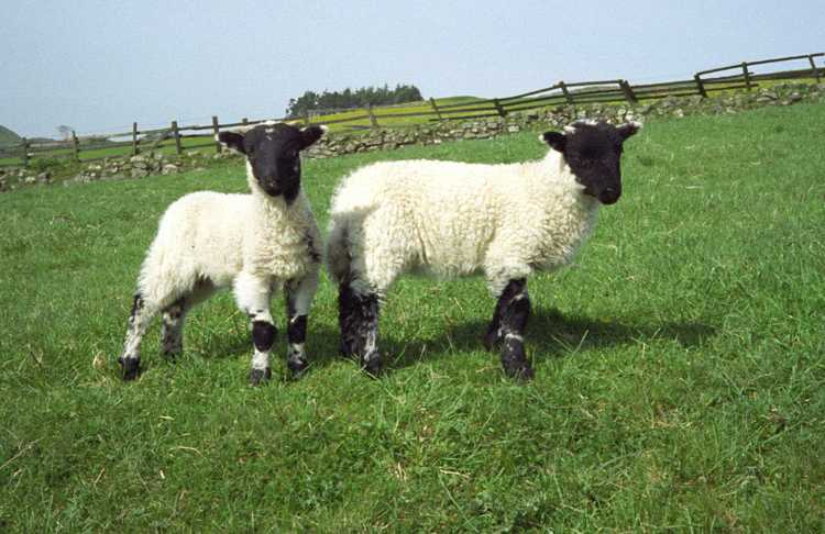 Two little black faced lambs