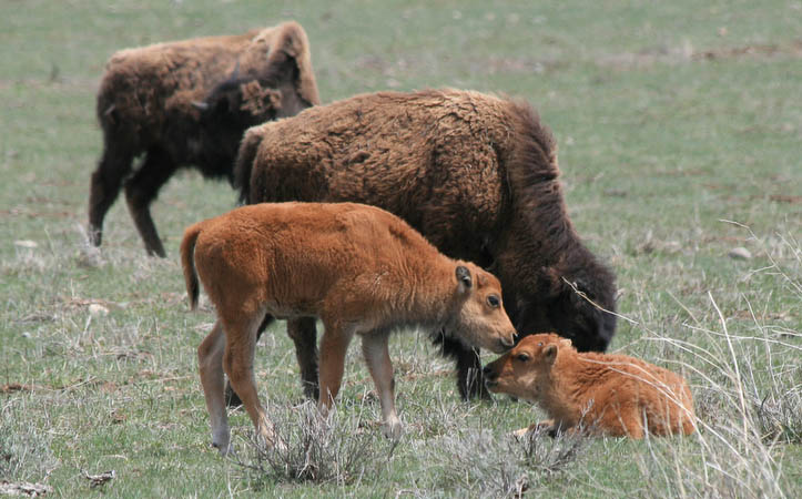 Baby bison greeting each other