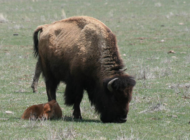 Mother bison with her baby