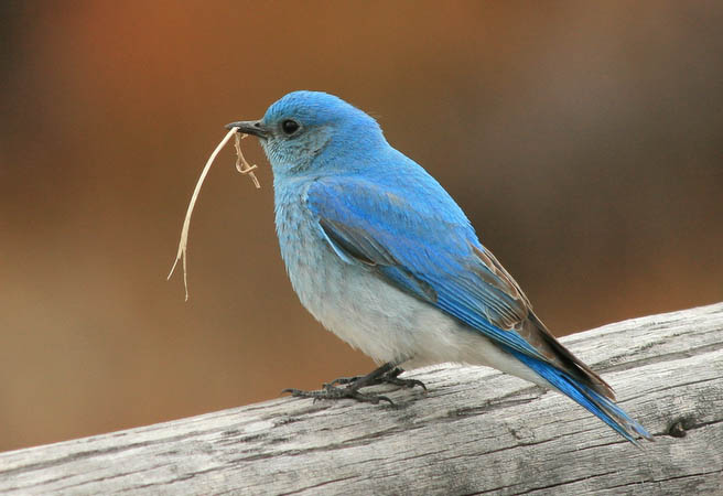 This mountain bluebird was trying to impress a neaby lady bluebird who didn't seem to be all that interested.