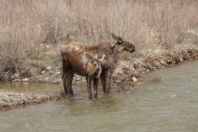 Moose on the Gros Ventre River