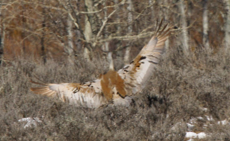 Sandhill crane landing. It's fuzzy but I still like it. It shows how big the bird is and how well it blends into its surroundings.