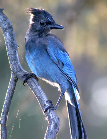 This young Steller's jay flew to the branch and stayed long enough for me to take a couple of shots.