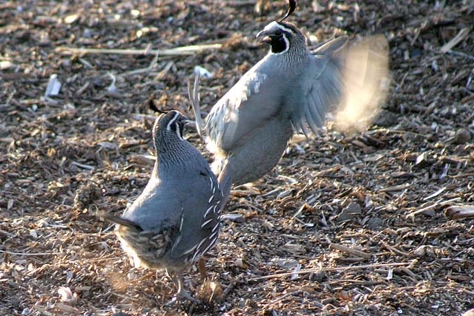 These two California Quail really went after each other. I'm sure it was a disagreement over one of the nearby lady quail.