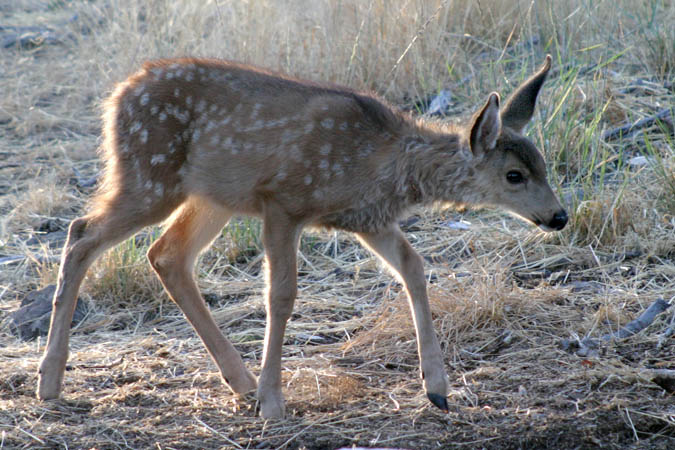 This fawn is approaching a water tub for an early morning drink. Mom was just a few feet away.