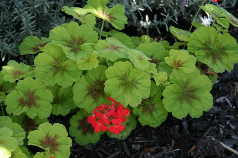 Geranium is a genus of 422 species of flowering annual, biennial, and perennial plants that are commonly known as the cranesbills. They are found throughout the temperate regions of the world and the mountains of the tropics.