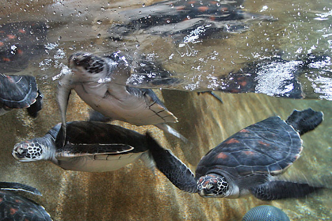 G3205 - Green sea turtles share an exhibit with the magellanic penquins