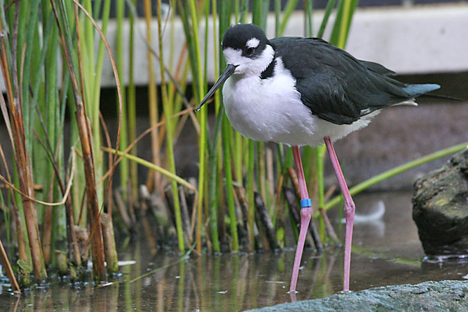 G3360 - Black-necked stilt