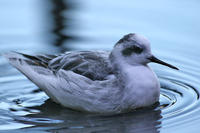 G3365 - The phalaropes forage by quickly spinning in shallow water to create a vortex, churning up tiny invertibrates.