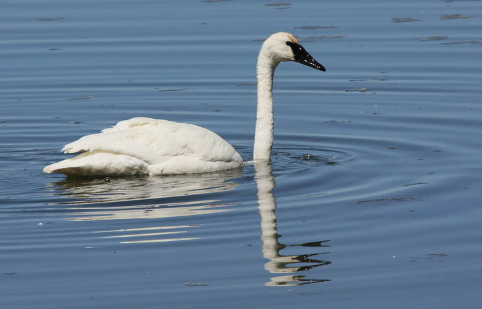 Trumpter Swan on Mary Bay in Lake Yellowstone (the mate was nearby)