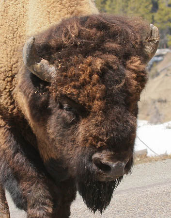 Bison up close and personal as it crossed the road right by our car