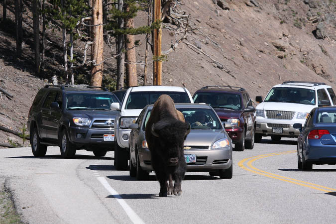 Traffic jam caused by a Bison