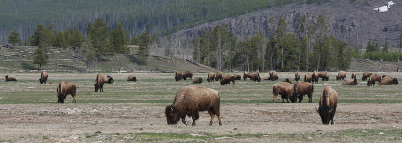 A field full of Bison