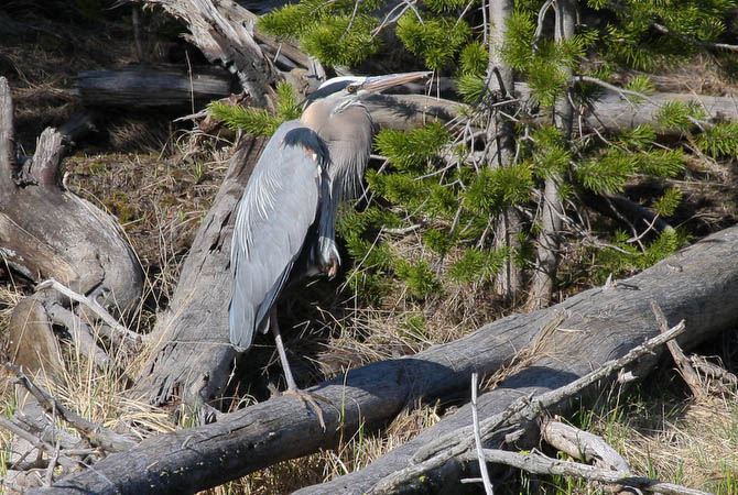 Great Blue Heron along the Firehole River