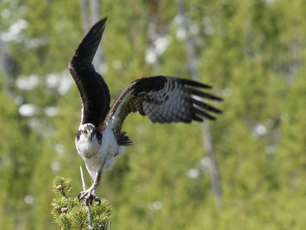 Osprey leaving its perch along the Firehole River