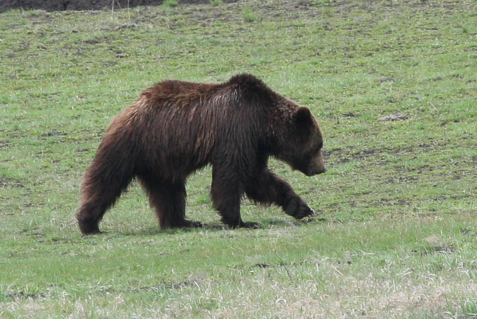 Grizzly Bear in the Lamar Valley