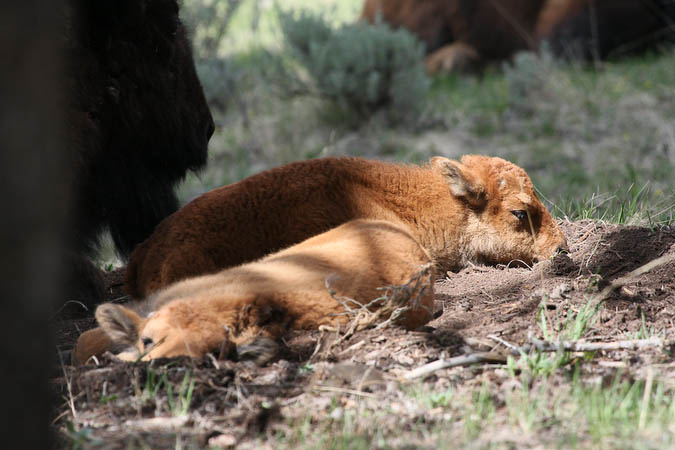 Baby Bison taking a nap