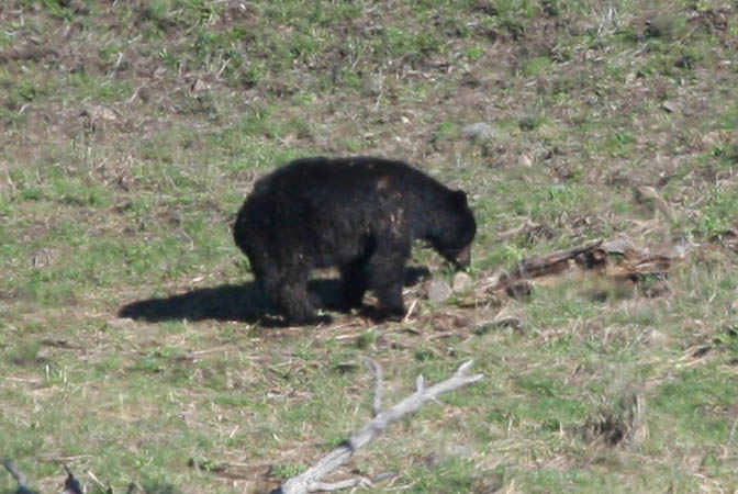 Black bear in the Lamar Valley