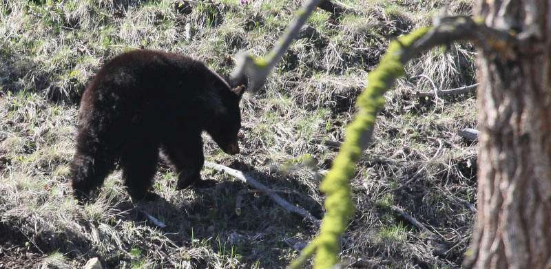 This is one of the bears near Tower Fall