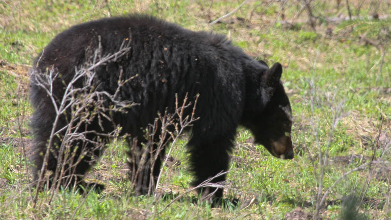 Black bear near Tower Fall