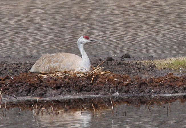 Sandhill Crane nesting in Floating Island Lake