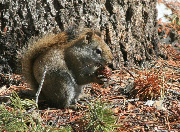 Squirrel eating a pine cone in the FIshing Bridge area
